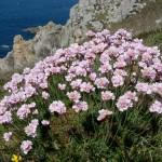 flore-armerie